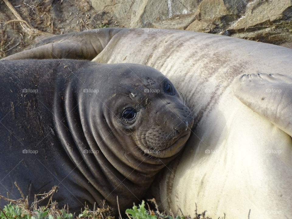 newborn elephant seal with mom