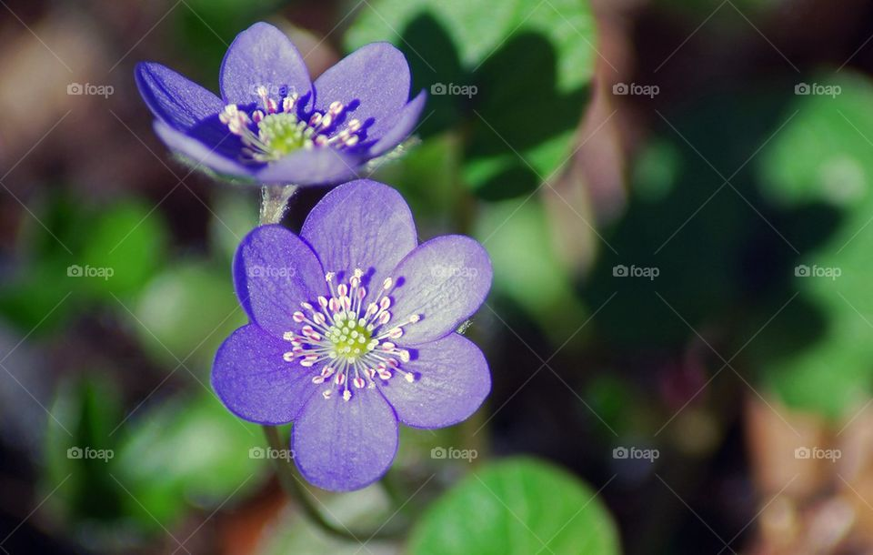 Close-up of anemone hepatica blooming