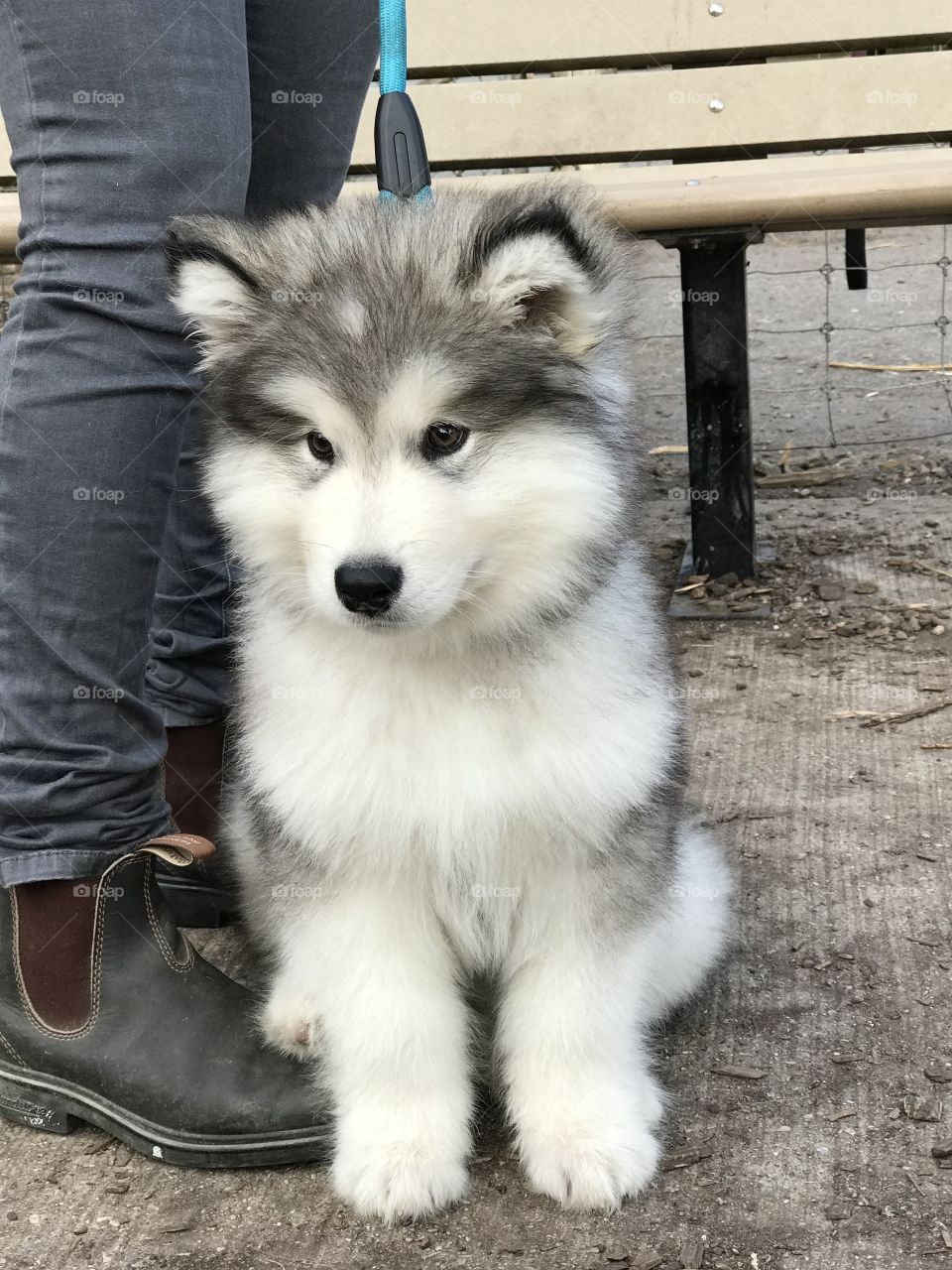 Can we talk about how cute this malamute is!? I saw him at the dog park and thought he was so cute.