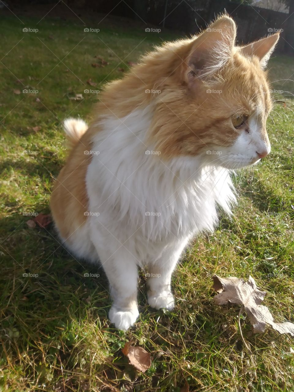 An orange and white cat named Natsu, enjoying the sunny day 🌞
