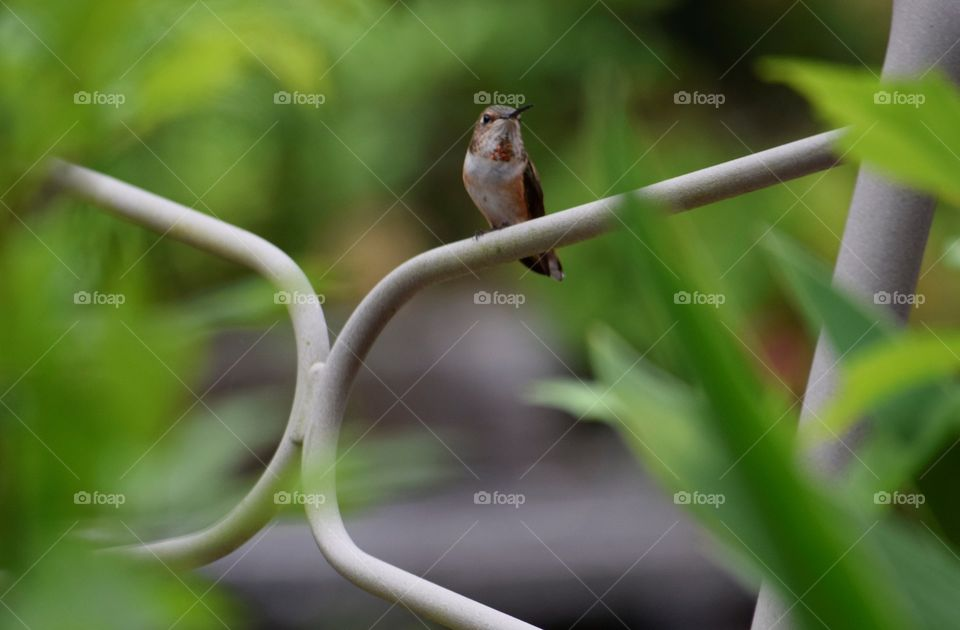Female Rufous Hummingbird sitting on the lounge chair behind plants. Female Rufous Hummingbird sitting on the lounge chair behind plants