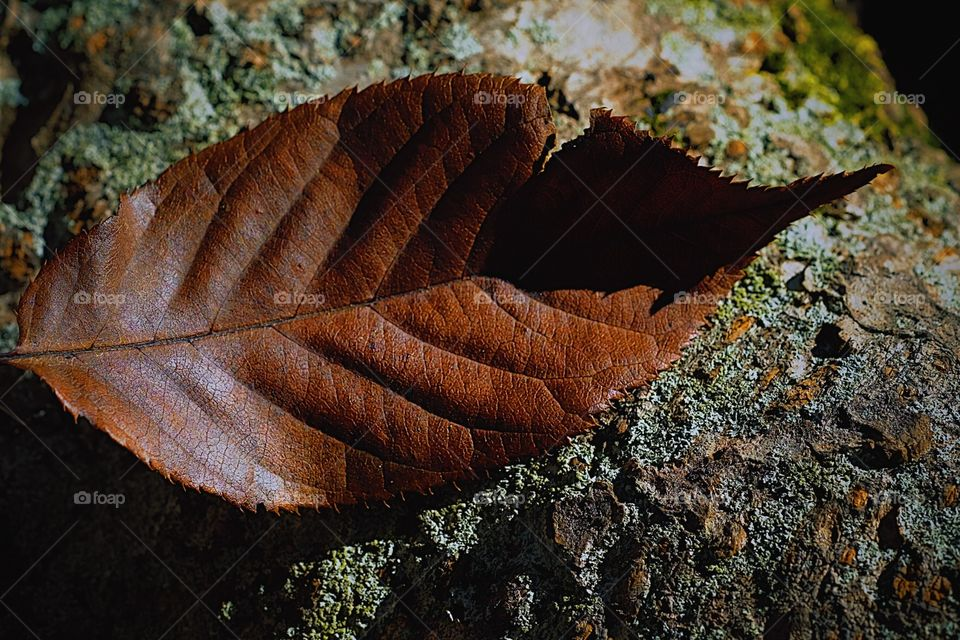 Closeup Of A Fall Leaf On A Rock, Leaves Off A Tree, Fall Time In The Woods, Leaves Changing Color, Details Of A Leaf, Designed By Nature, Detailed Leaf