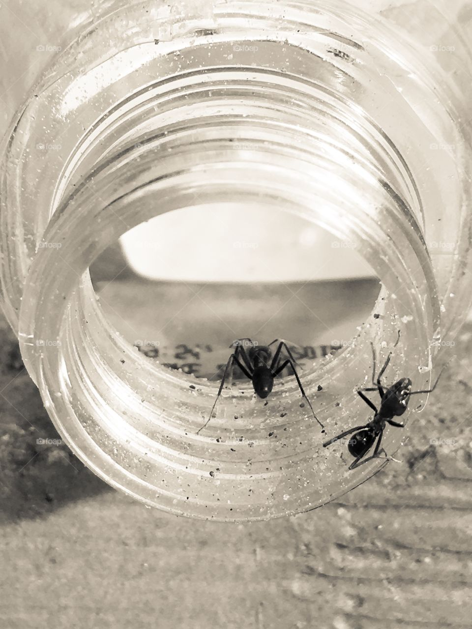 Worker ants Australia inside and outside glass jar large biting ants with pincers