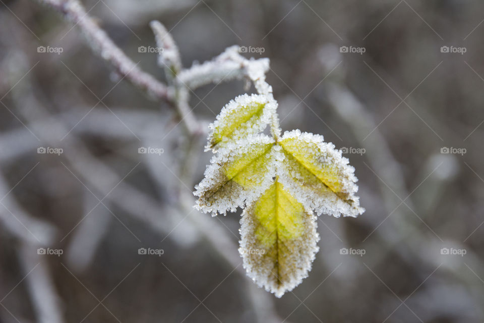 Frost on green leaves - frosty
