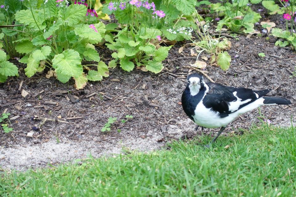 Australian magpie-lark is staying in the garden.