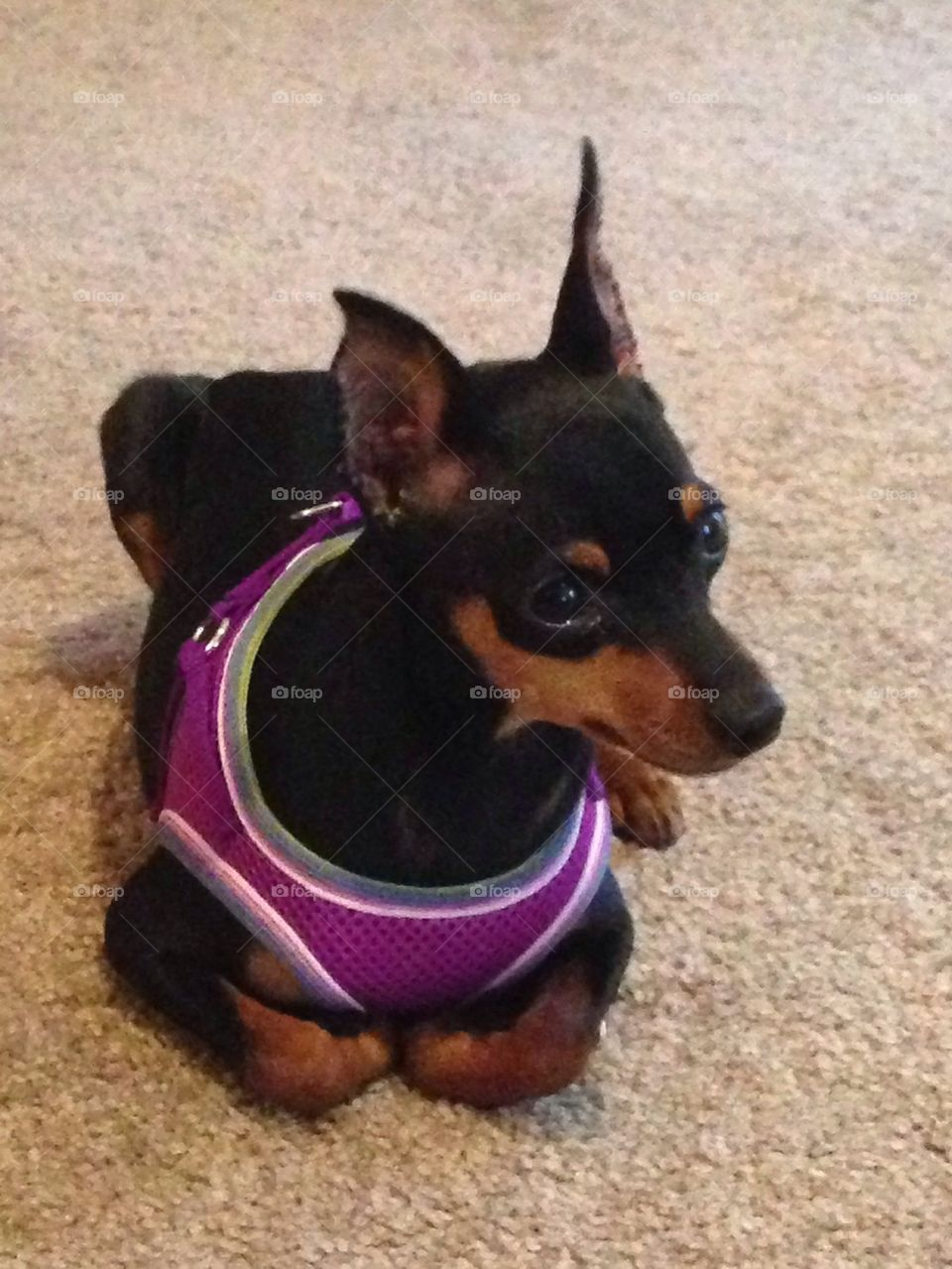Mini me with harness