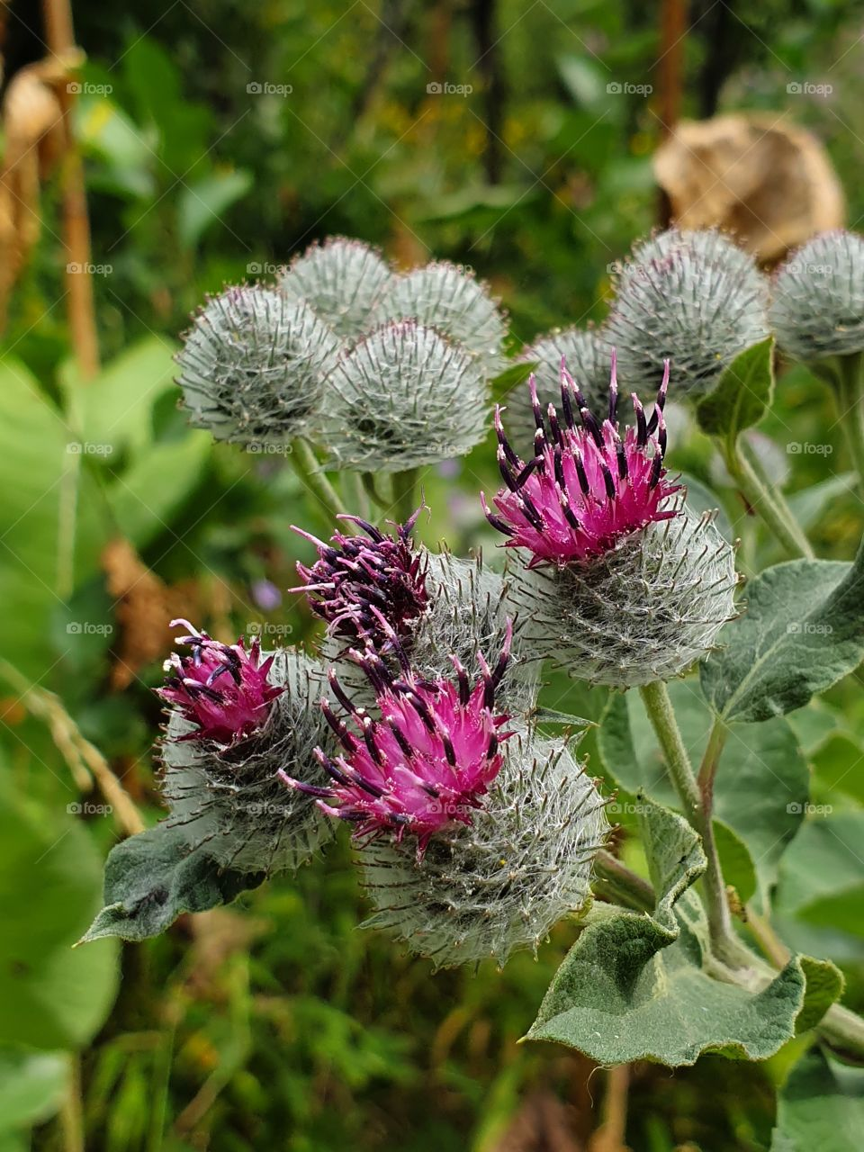 camel-thorn flowers