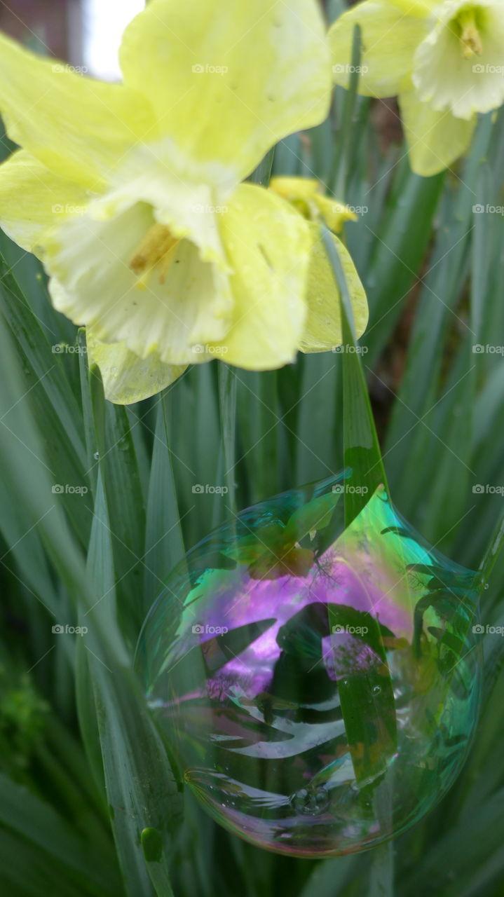 bubble in daffodil