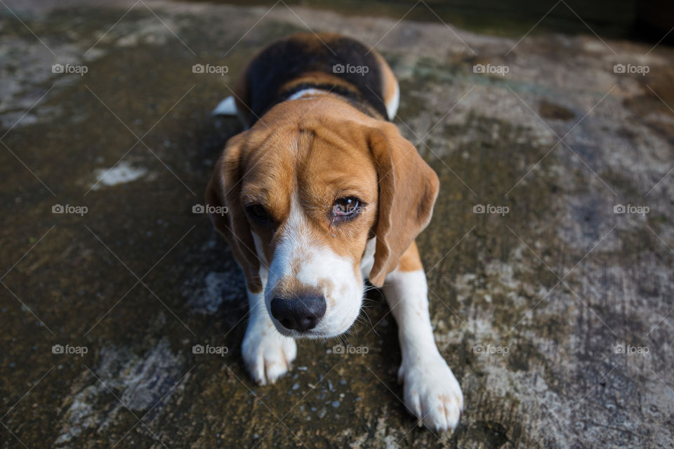 Cute beagle dog  sitting on the ground  looking at camera