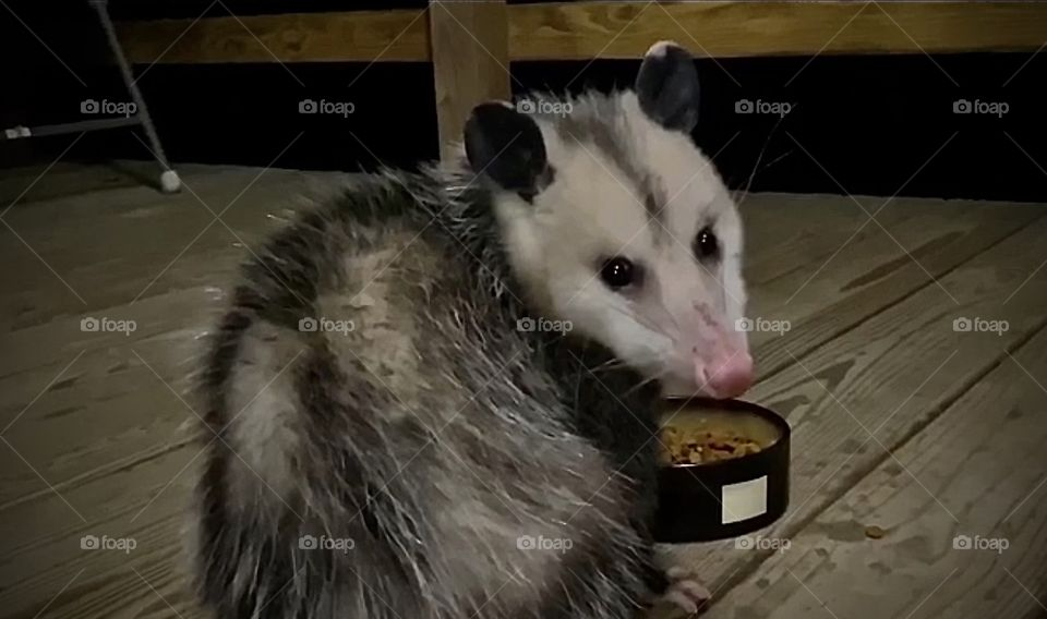 George The Possum ((Low Rez photo taken from a video)