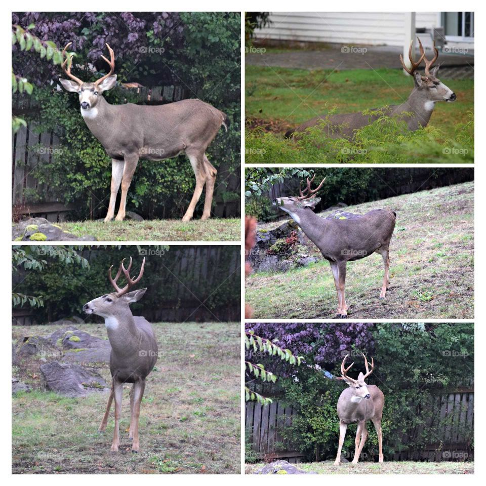 magnificent 3-point antler Deer visited my yard different angle views of it October 6th 2018
