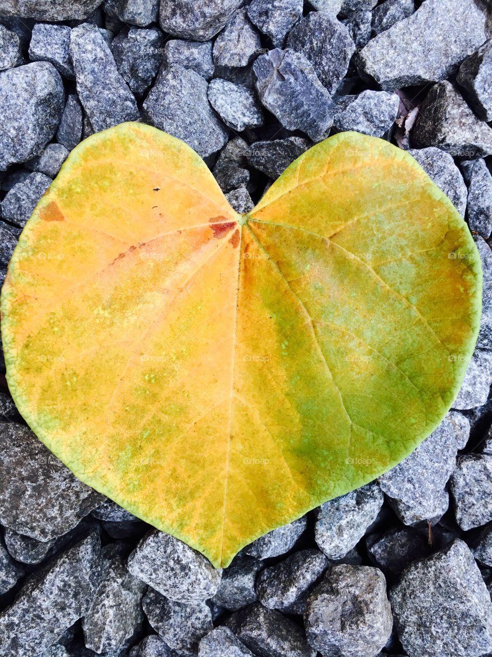 yellow heart shaped leaf