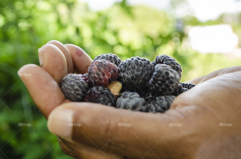 Hand Filled With Blackberries