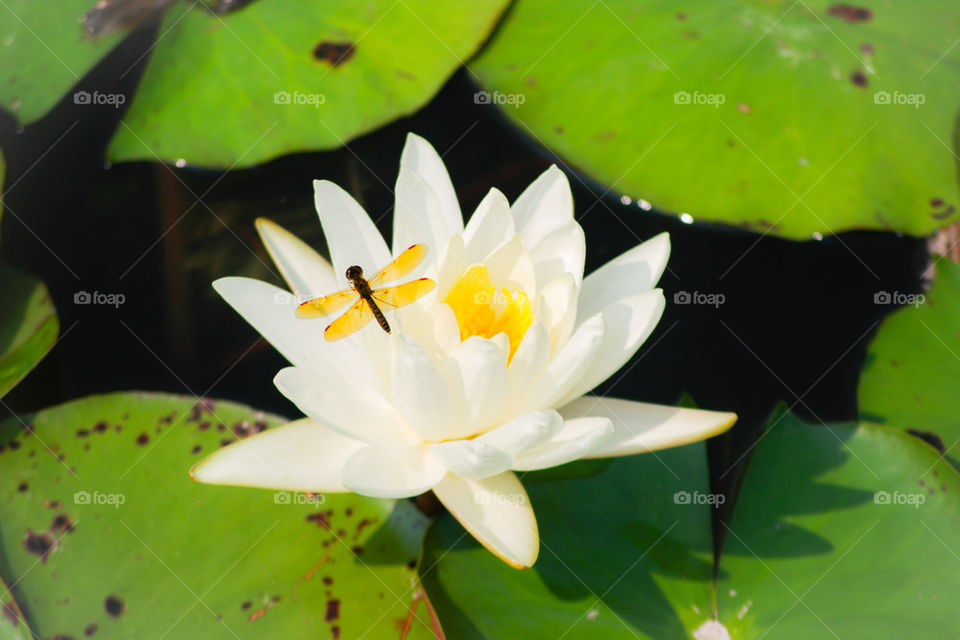 Foapcom Dragonfly On Lotus Flower Stock Photo By Kagrochmal