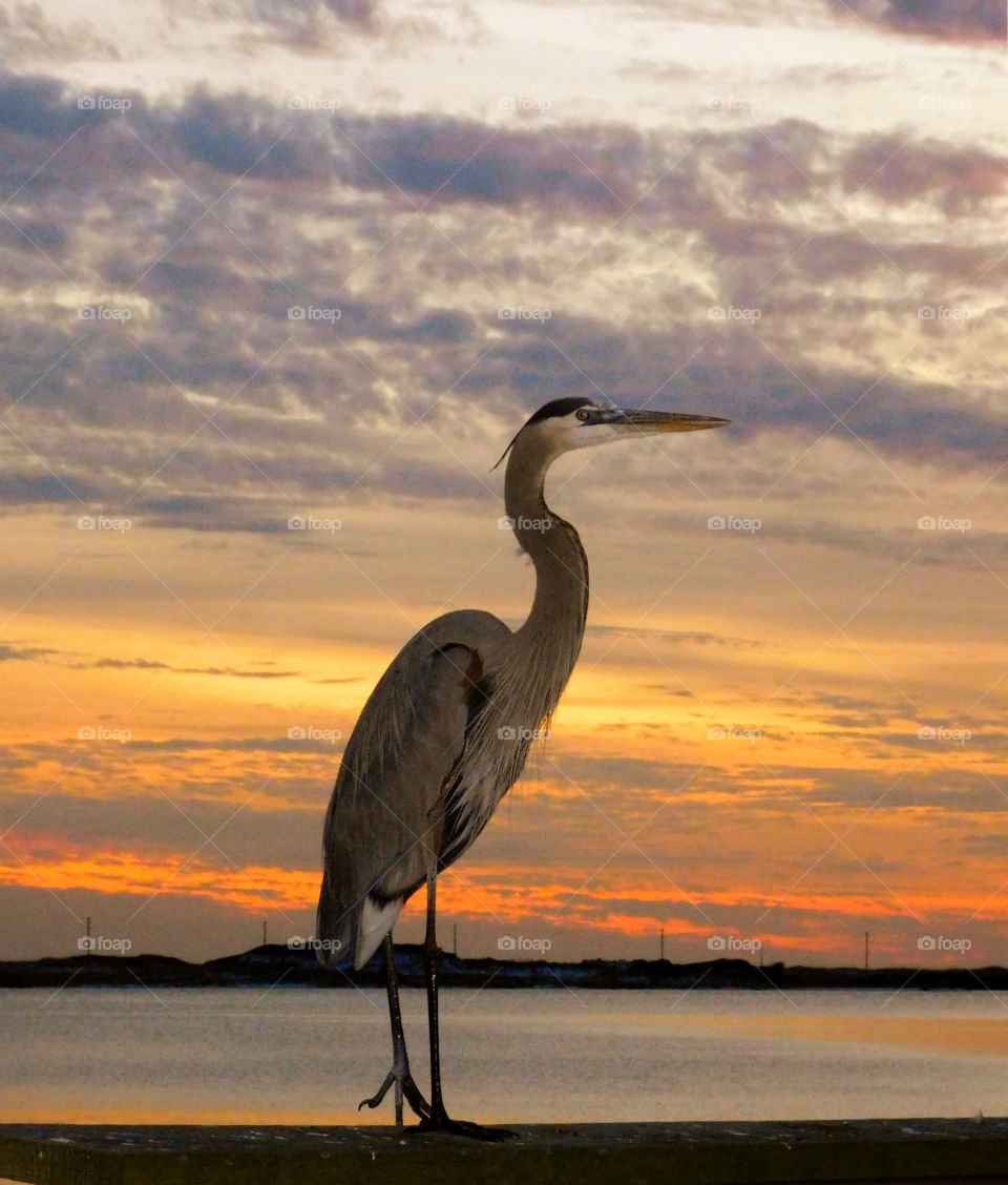 A Blue Heron strikes a pose in the sunset!