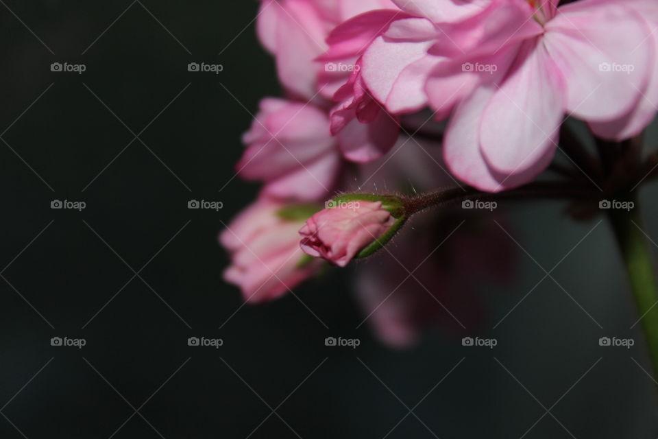 zooming pink flower