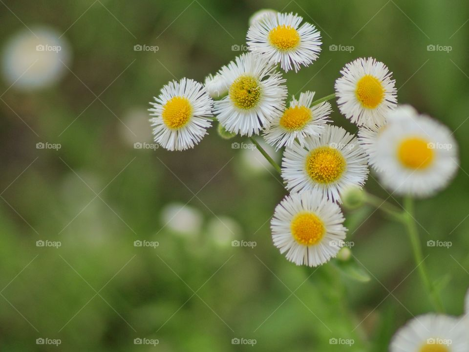White and yellow flower blooming in garden