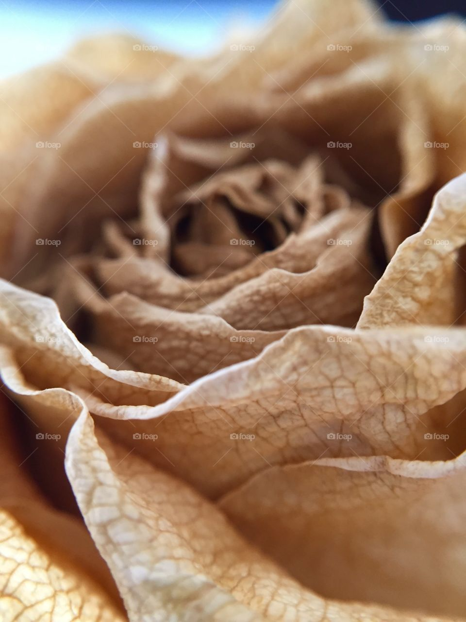 Close-up of dried rose
