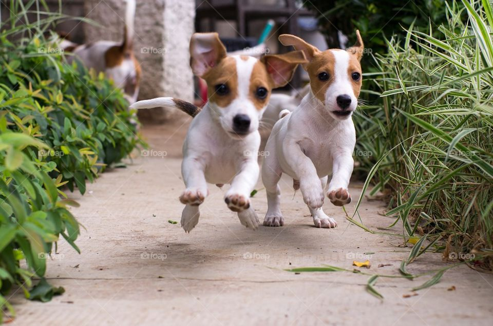 Two dog running on footpath