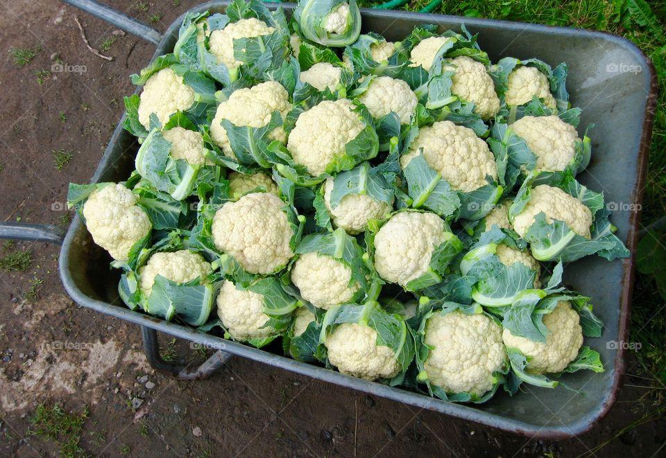 wheelbarrow full of cauliflower