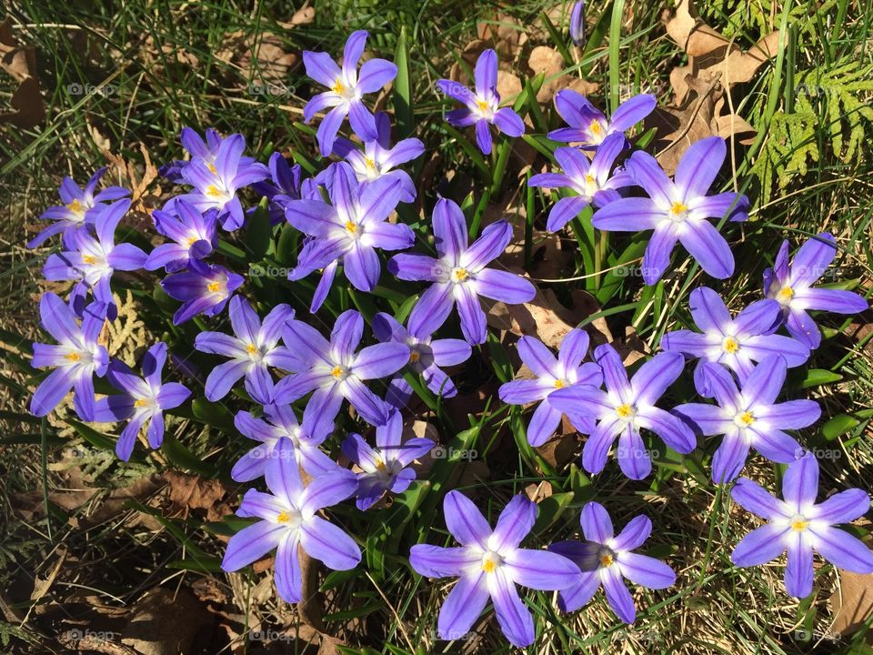 Hepatica near our house, spring is here