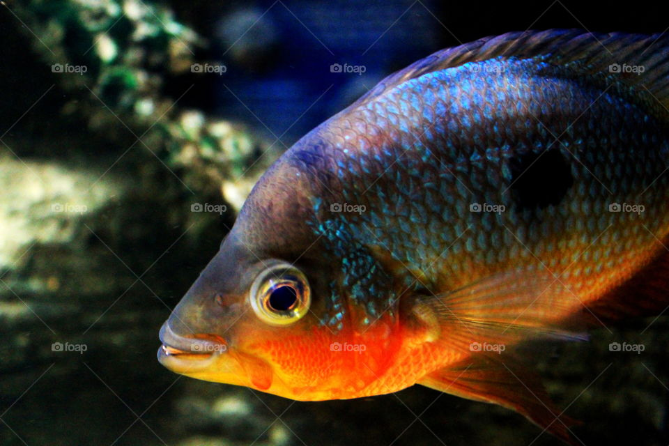 This is a colorful fish swimming in an aquarium at the Newport Aquarium in Kentucky.