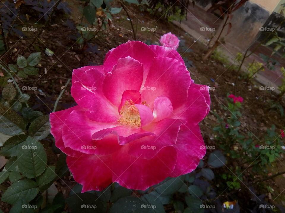 flower 2018-01-22 040  #আমার_চোখে #আমার_গ্রাম #nature #flower  #eukaryota #plantae #angiosperms #eudicots