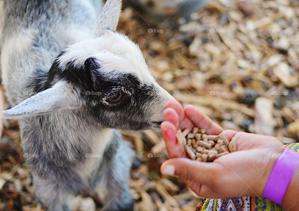 Feeding baby goat 🐐