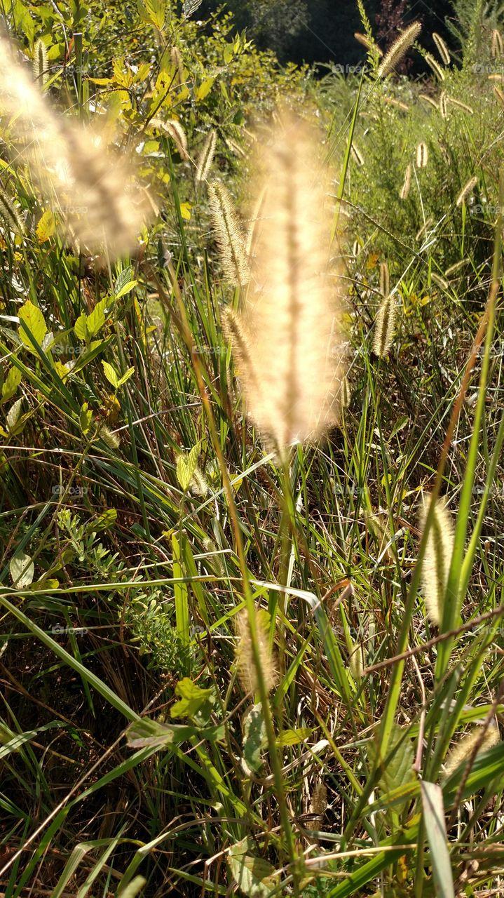 mature grass
