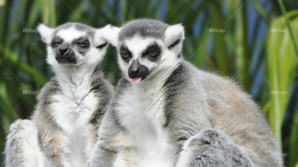Lemurs acting silly.