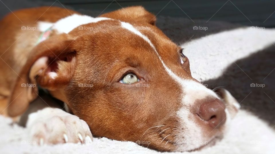 Sweet Catahoula pit bull terrier hound mix puppy dog looking up with green eyes blaze face red nose brindle coat expression sunlight soft bed close up