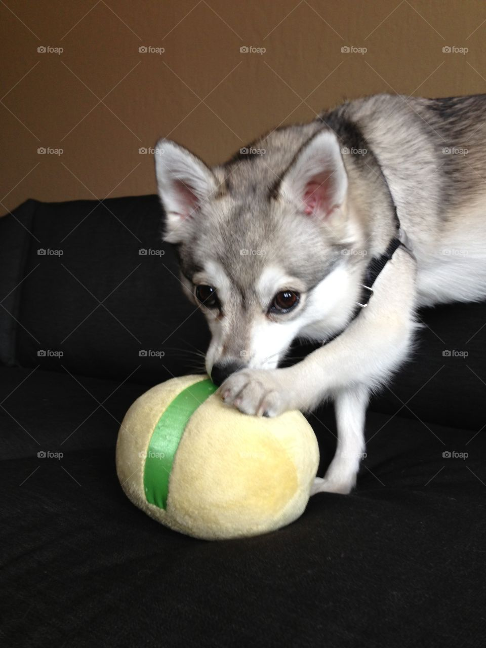 Mini Husky. Toy