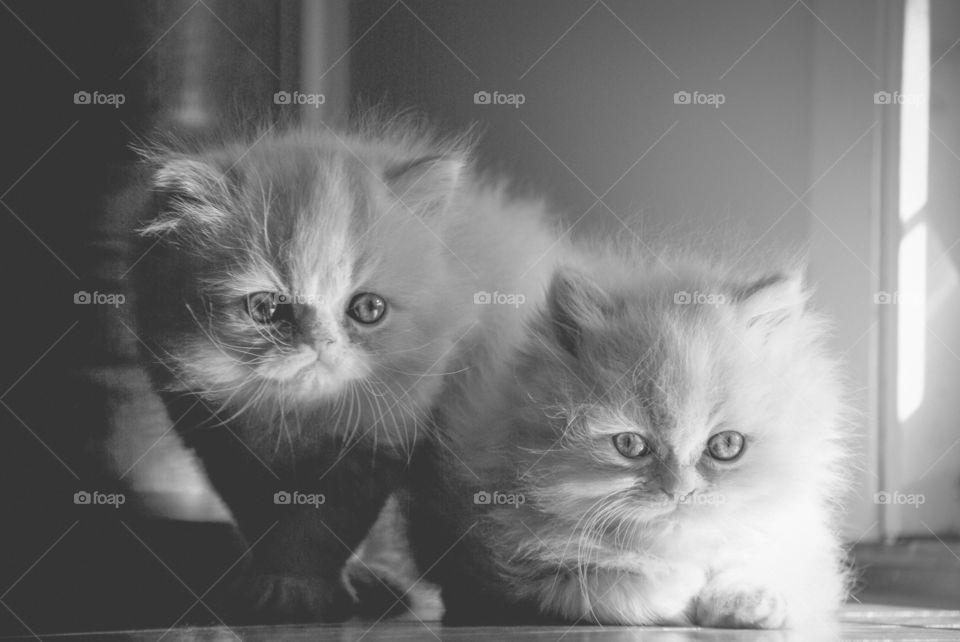 Two sweet staring Kittens