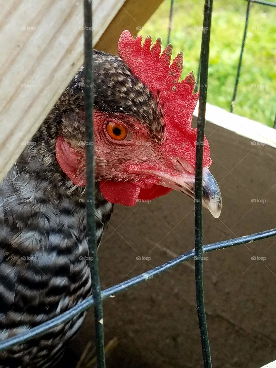 close-up of hen in its pen, looking through wires