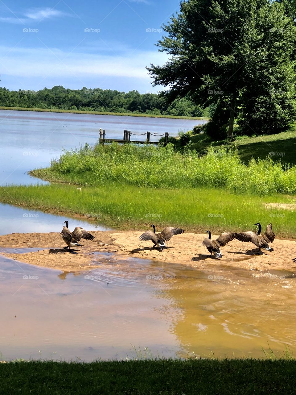 Just another candid shot of the Canadian geese taking flight from our neighborhood lakeshore.  Summertime at Lake Emory is just peaceful and beautiful.