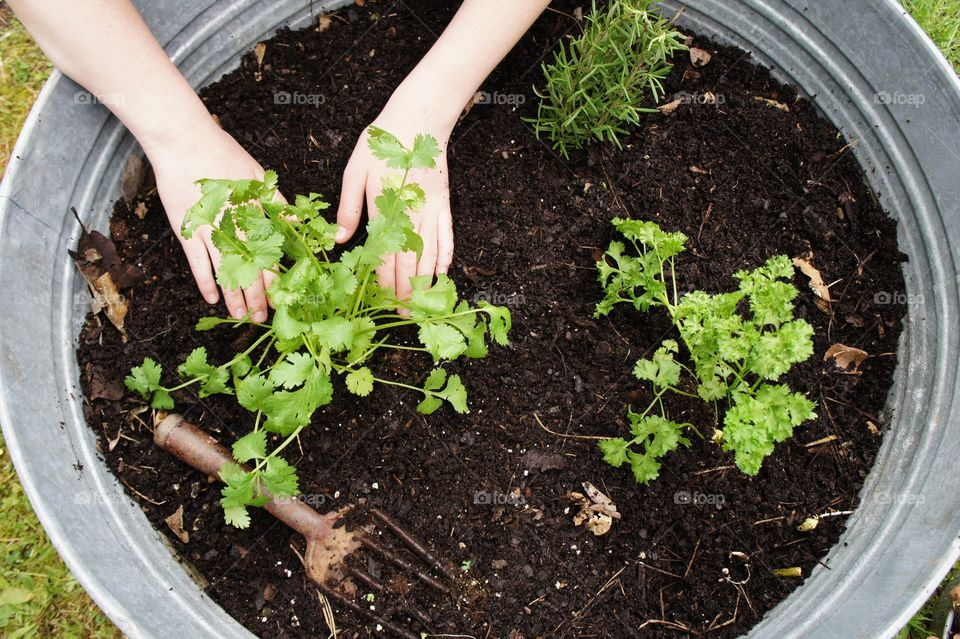 A person planting parsley plant