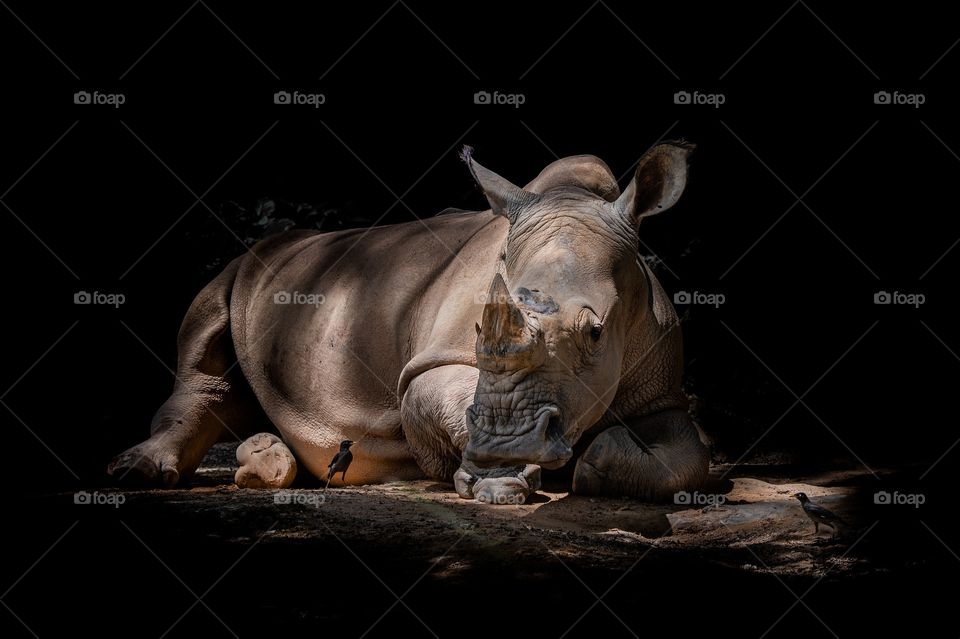 Rhino under shadows