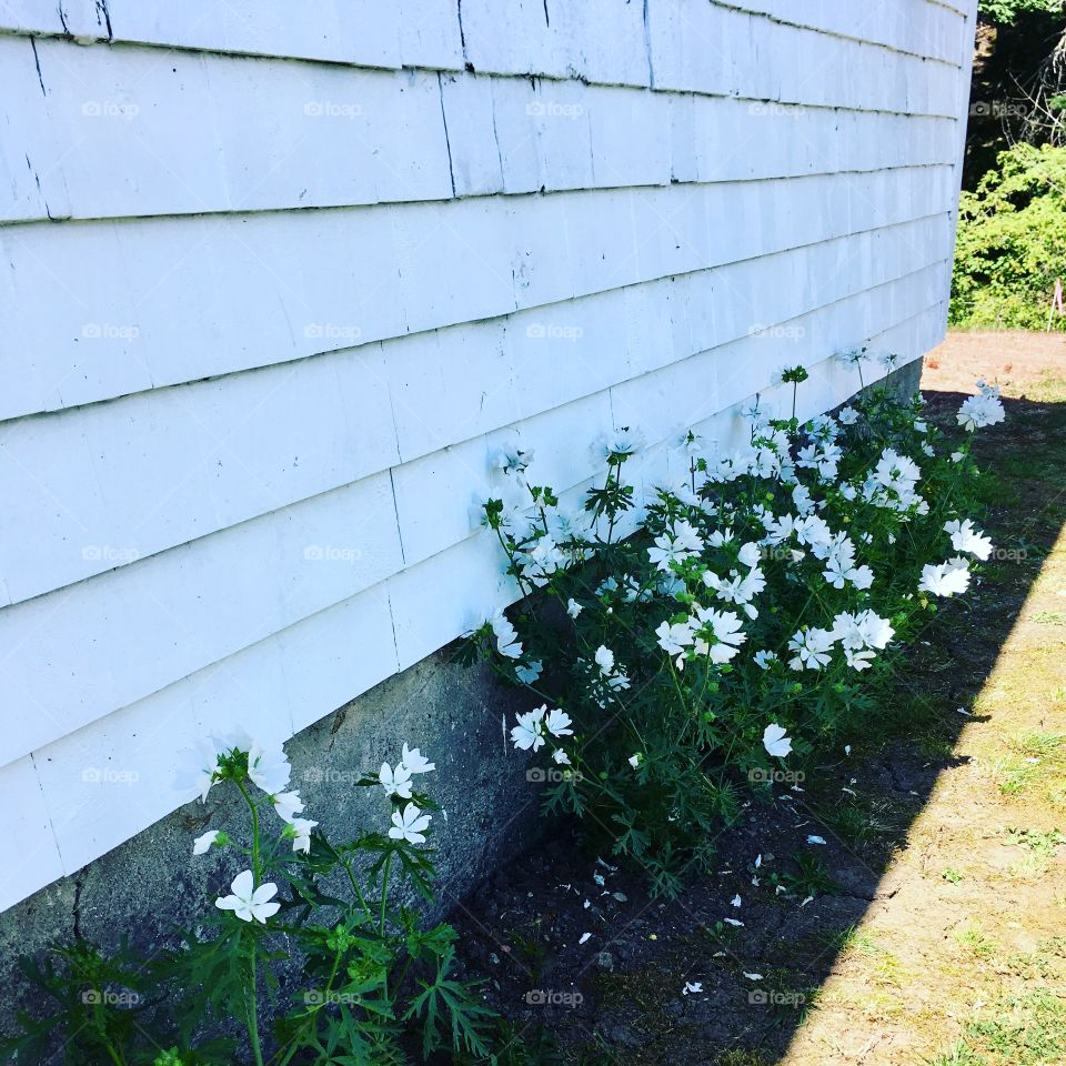 White heirloom cosmos flowers. Flower garden against an old white cottage home.