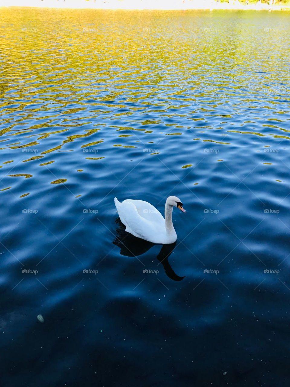Swam swan