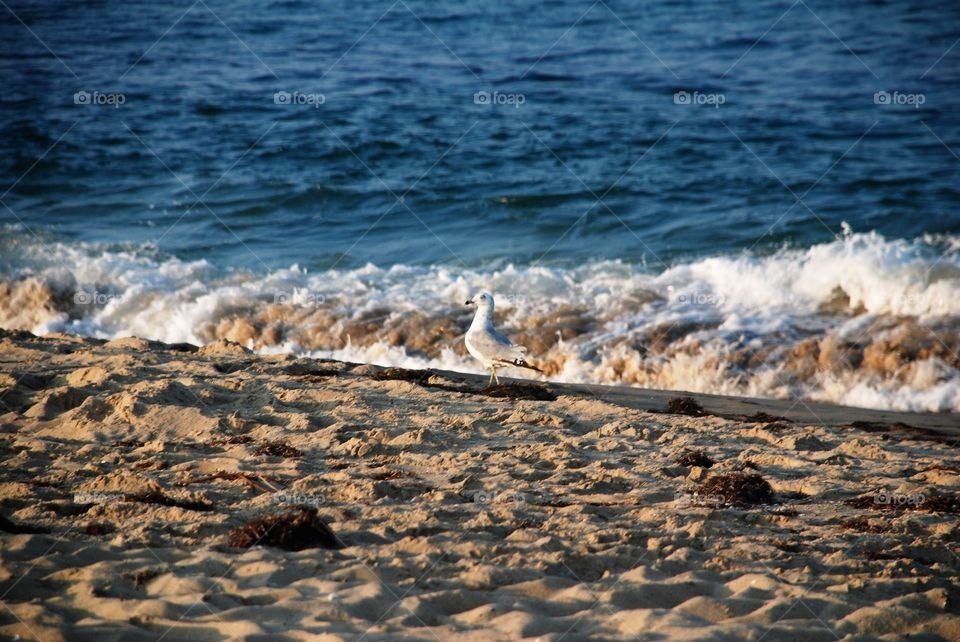 Sea gull in the surf