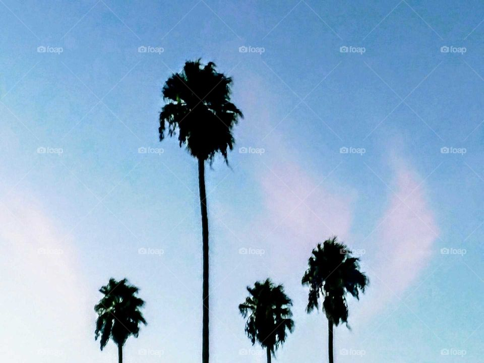 Backlit Palm Trees and Clouds  (Blush)