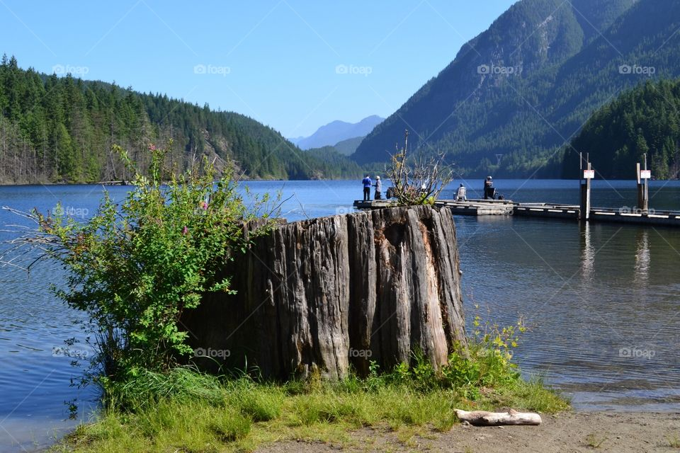 Buntzen lake in British Columbia close to Vancouver, location of many Hollywood movies. This lake is glacial fed reservoir, surrounded by mountains and is in a rainforest and old growth area. Photo shows an old growth log stump
