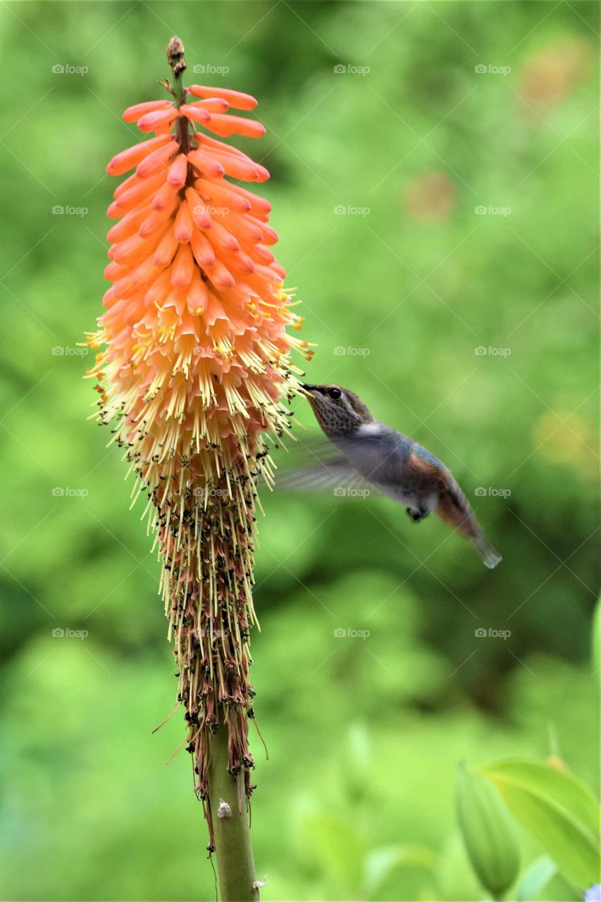 rufous hummingbird feeding on a red hot poker flower July 11th 2019