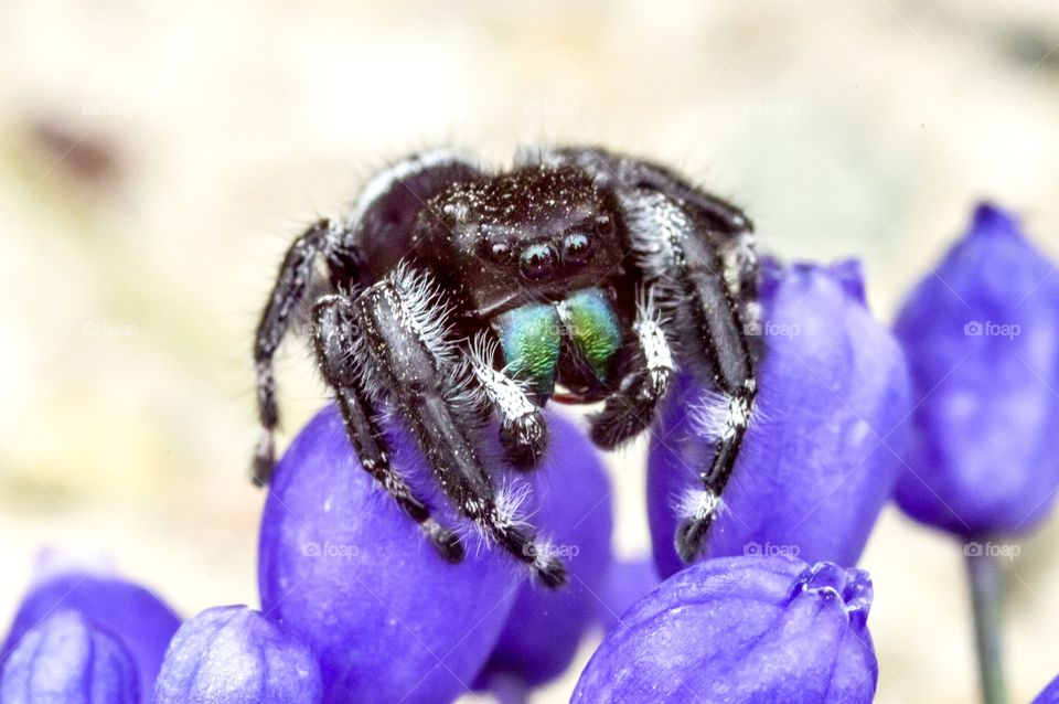 Colorful jumping spider on purple flower