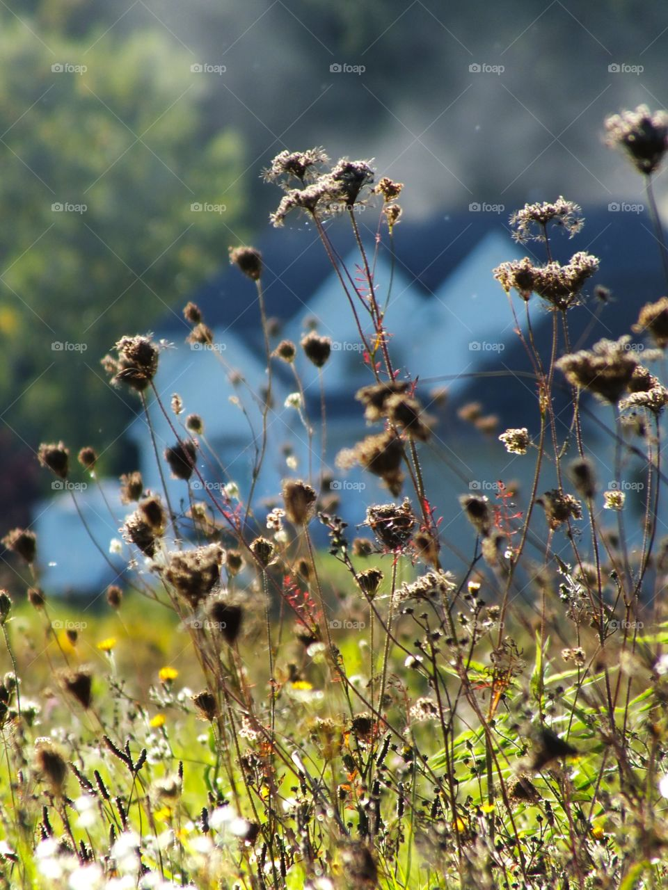Weeds in the wind in the sun