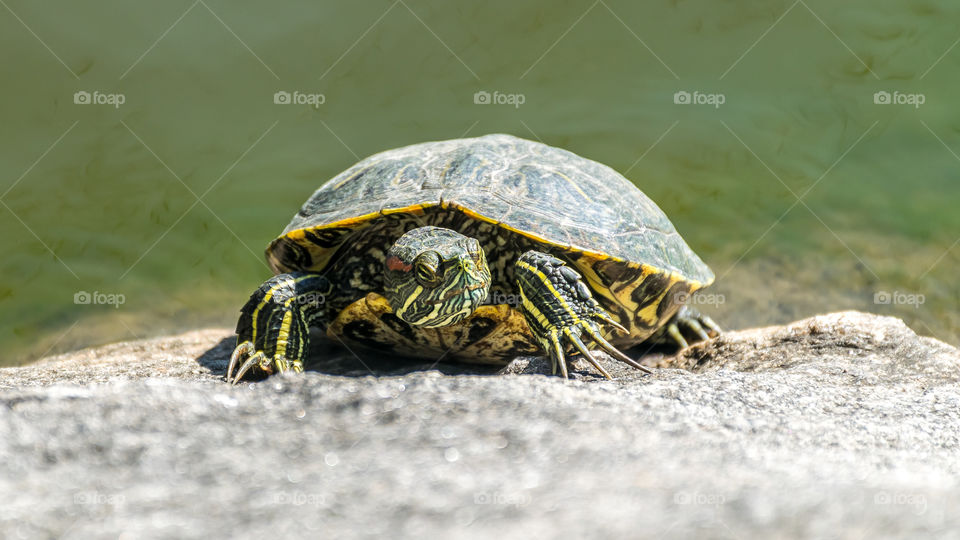 Turtle in the sun