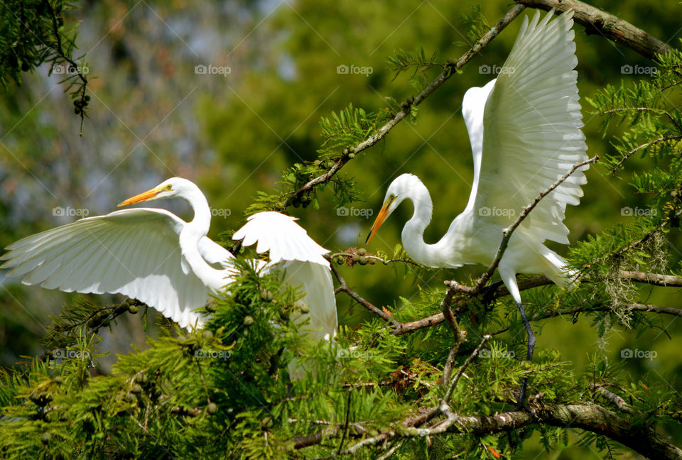 Two Egrets fight for space