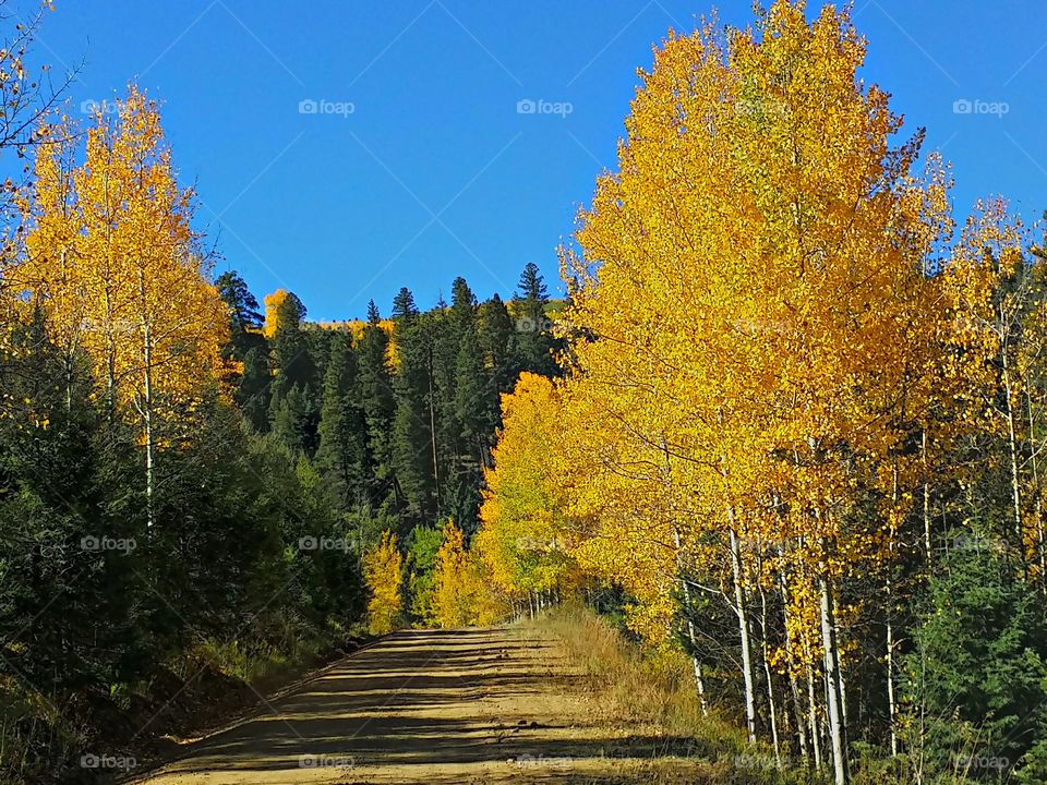 New Mexico Fall Aspens. The yellows stand out against the dark evergreens in the mountains of Northern New Mexico.