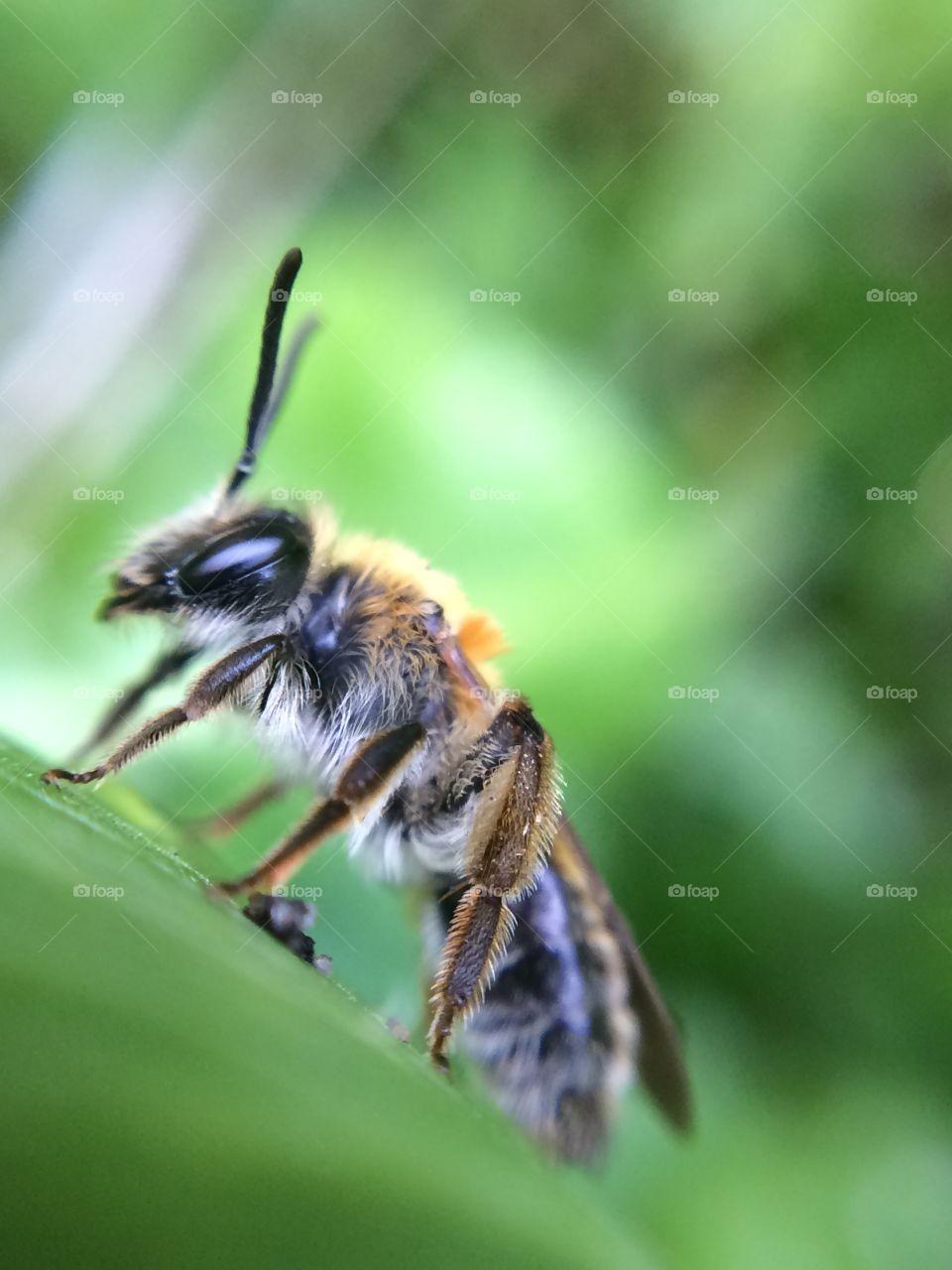 Honey bee on leaf