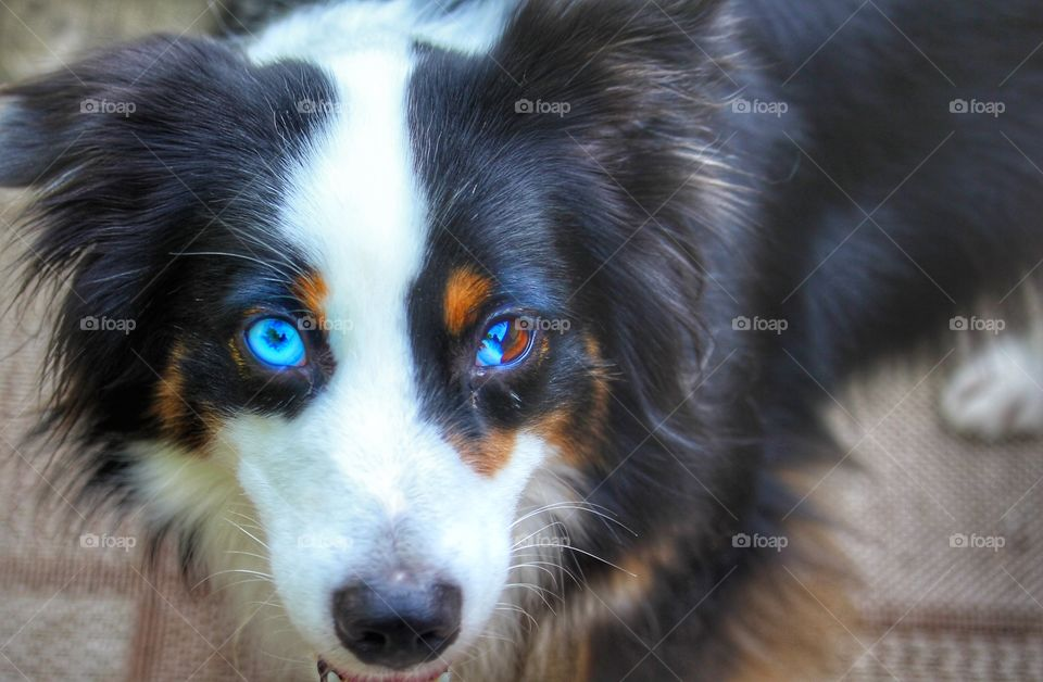 Black and white tri Australian Shepherd with two different colored eyes.